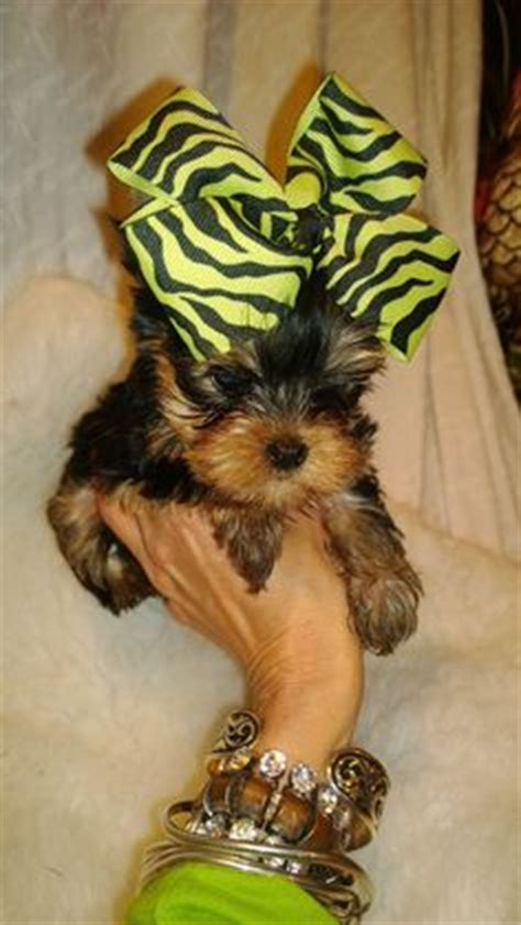 yorkie poo puppies for sale australia free teacup puppies in micro teacup yorkie poo puppies for sale in