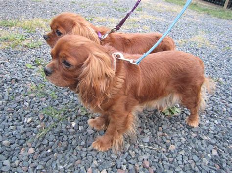 ruby cavalier king charles spaniel puppies for sale adoption pair of ruby cavalier king charles bridgnorth shropshire pets4homes