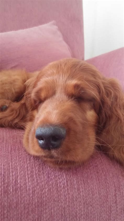 658 best i love irish setters other setters too images 654 best i love irish setters other setters too images