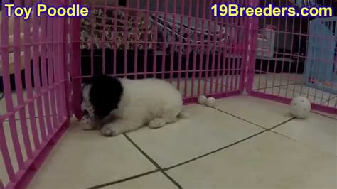 puppies for sale in duluth mn poodle puppies for sale in duluth minnesota county mn hennepin dakota