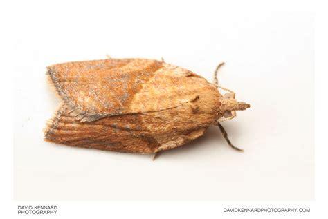 light brown apple moth light brown apple moth epiphyas postvittana i 183 david