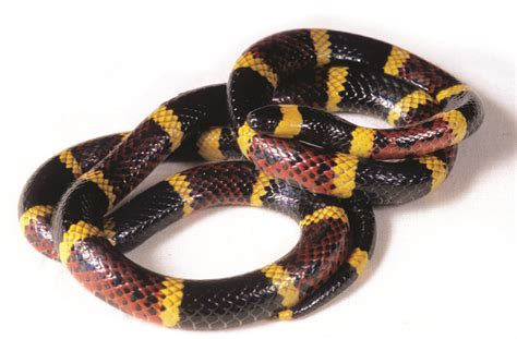 coral snakes colors bites facts