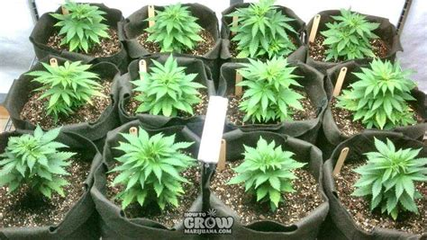 best light for veg stage marijuana cloning