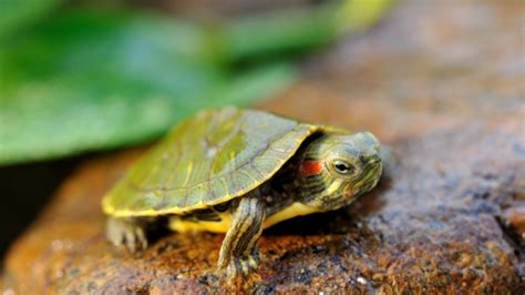 turtles eat crickets
