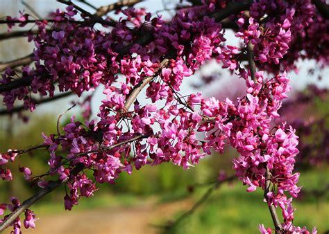 flowering tree redbud cercis canadensis shade tree farm