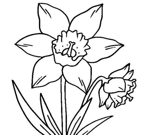 crocus flower coloring page crocus outline clipart best