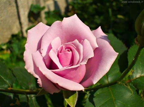 rosa fiore cucina alla moda le donne di maggio solidarieta in rosa