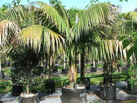 howe fosteriana howea fosteriana quot kentia palm quot trees more ltd