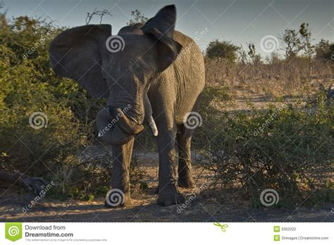 the elephant with a knot in his trunk books elephant w twisted trunk stock photography image 6352022