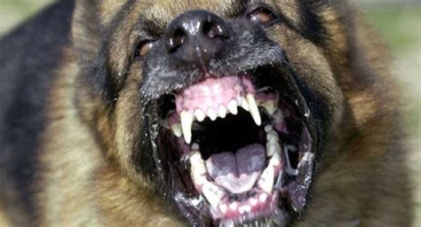 most aggressive breeds 25 most dangerous breeds and fur