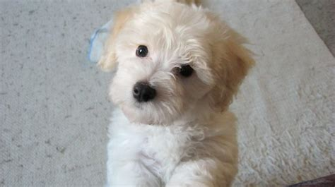white bolognese puppies sale bichon bolognese puppies breeds picture