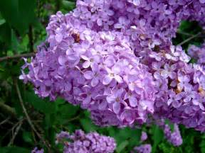 Lilac Flowers Lilac Flower Purple Amp White Lilac Flowers