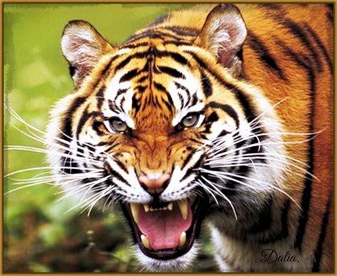 imagenes sorprendentes de tigres imagenes de tigres rugiendo archivos imagenes de tigres