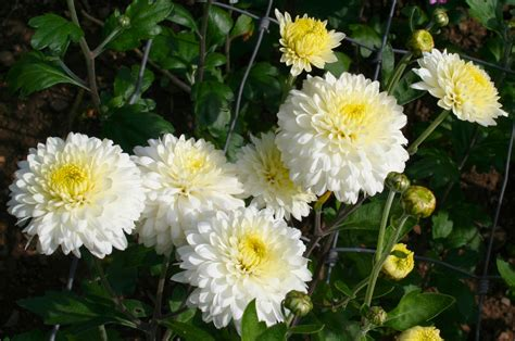 You Put The Flowers In The Vase Chrysanthemum Tea Effect For Health Typesofflower Com