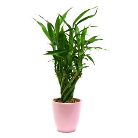 delray plants lucky bamboo medium in 4 in pink pot