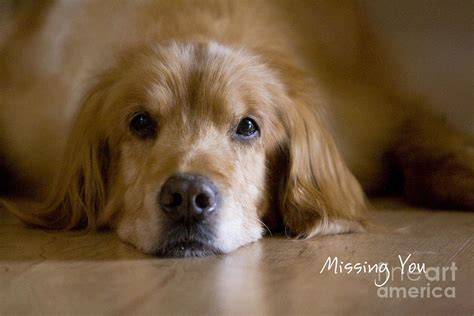 missing golden retriever golden retriever missing you photograph by bo insogna
