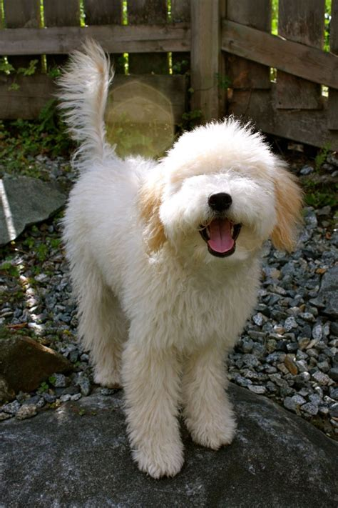 goldendoodle puppy thin coat de 20 b 228 sta id 233 erna om mini poodles p 229 pudlar
