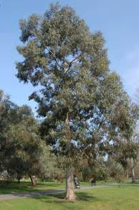eucalyptus trees eucalyptus perriniana landscape architect s pages
