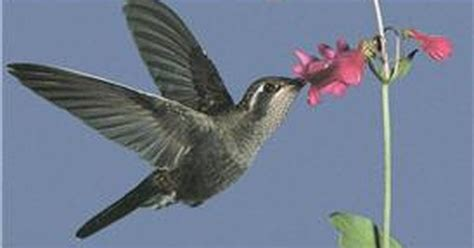 video what type of flowers attract hummingbirds ehow uk