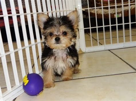 morkie puppies for sale in alabama morkie puppies dogs for sale in montgomery alabama al 19breeders hoover
