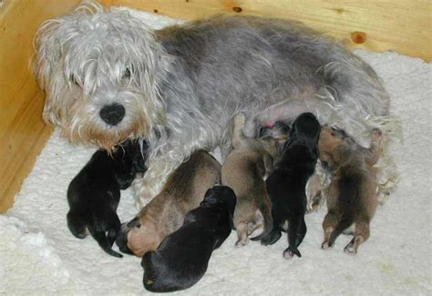 dandie dinmont terrier puppies dandie dinmont terrier puppies