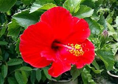 Bunga Hibiscus Scarlet bunga raya malaysia s national flower