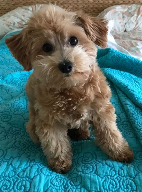 havapoo puppy 156 best havapoo adorable images on poodle mix and rolo