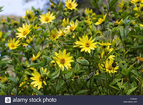 perennial shrub with yellow flowers lemon yellow flowers of the growing early autumn