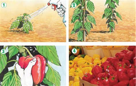 coltivare peperoni in vaso coltivare peperoni fai da te in giardino