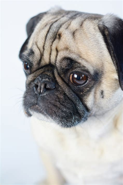 how is a pug 3 reasons is better with a pug sed bona