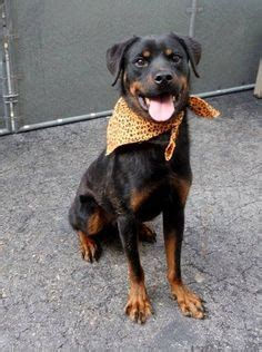 rottweiler rescue new york rotti rescue on rottweiler rescue rottweilers and manhattan