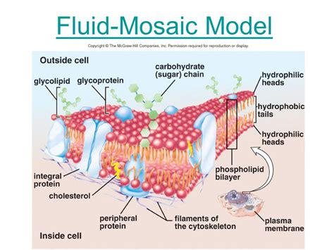 diagram of the fluid mosaic model cell membrane model diagram image collections how to