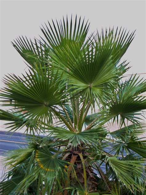 mexican fan palm care mexican palm care how to grow a mexican fan palm in the