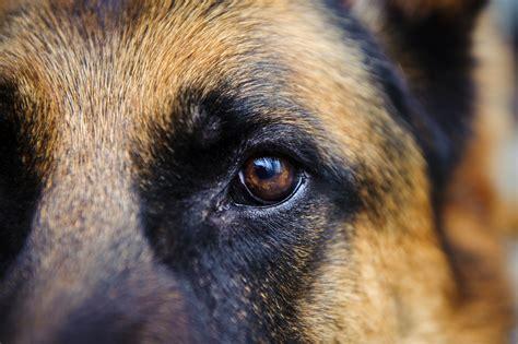 german shepherd eye color powerpet treats breed of the week power pet