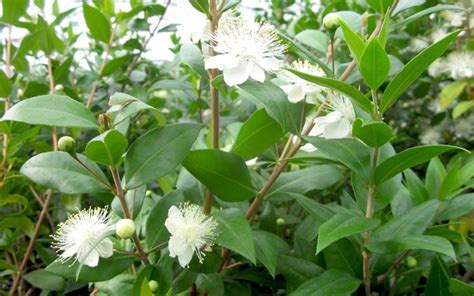 pianta di mirto in vaso mirto aromatiche la pianta di mirto