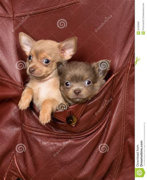 pocket puppies dogs in a jacket pocket stock photo image of animal 35400666