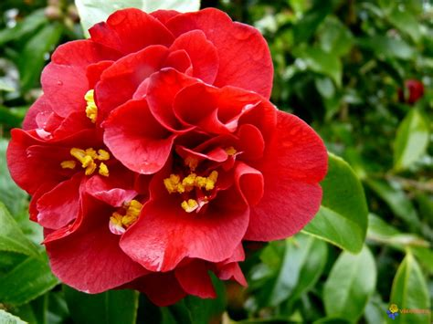 camellia maroon gold midland horticulture
