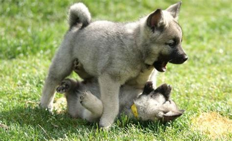 elkhound puppies elkhound puppies rescue pictures information temperament