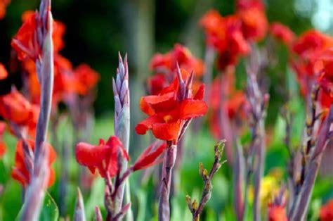 gladioli fiori significato dei fiori il gladiolo pollicegreen