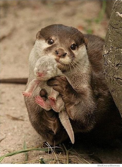 Smart House Solutions by 12 Adorable Pictures Of Baby Otters Weknowmemes