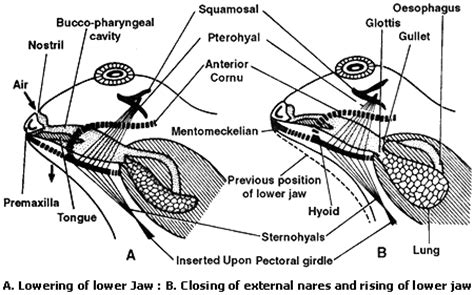 Cutaneous Respiration In Frog Essay by Respiratory System The Northern Leopard Frog Resource