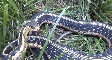 Garter Snake Recipe Garter Snake Recipe 28 Images Northern Mexican