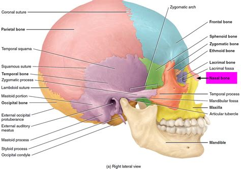 broken nose diagram nose fracture diagram choice image how to guide and refrence