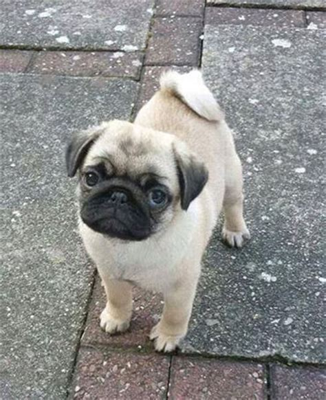 what do pug puppies eat 25 b 228 sta hundraser id 233 erna p 229 husdjur