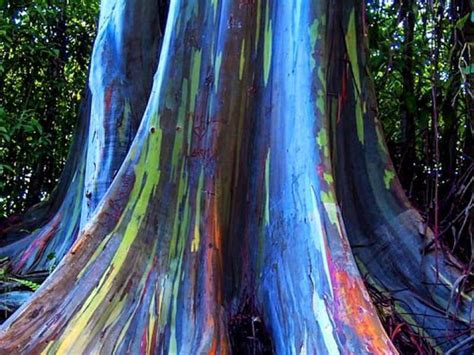 rainbow trees growing rainbow eucalyptus trees is fun they grow fast