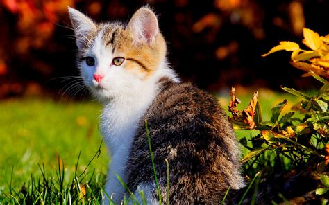 beautiful kittens beautiful kitten wallpapers and images wallpapers