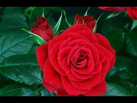Standar Bunga Mawar bunga ros bunga mawar