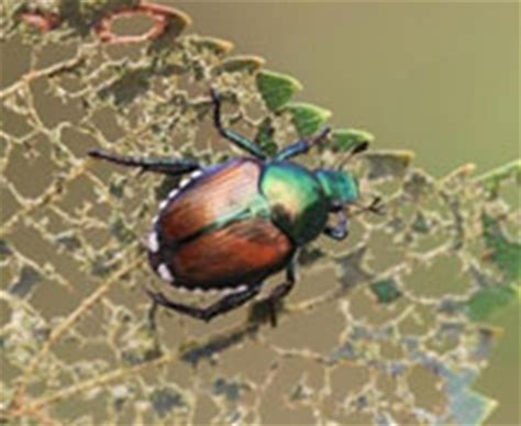 are japanese beetles doing damage to your tree leaves