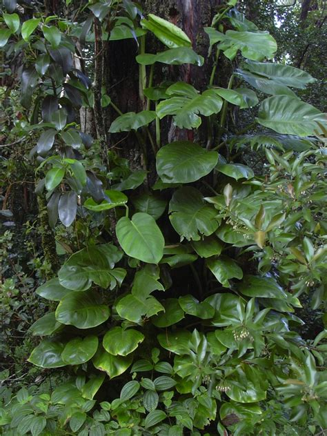 epipremnum aureum peaceful garden epipremnum pinnatum