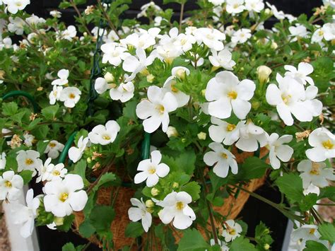bacopa trailing annual how do you care for bacopa plants